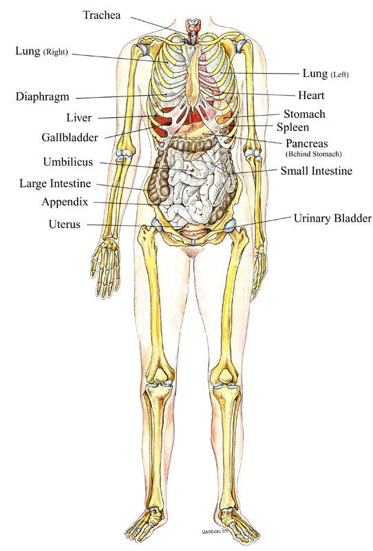 Skeleton_and_Organs