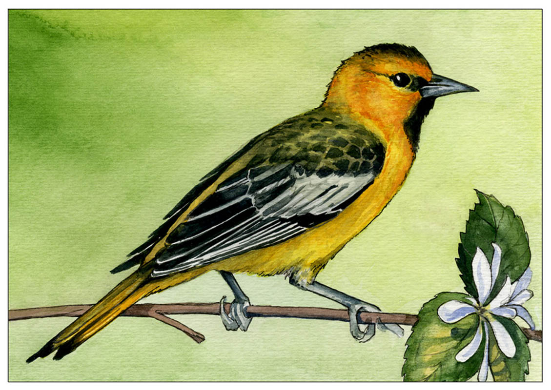 oriole_for_web
