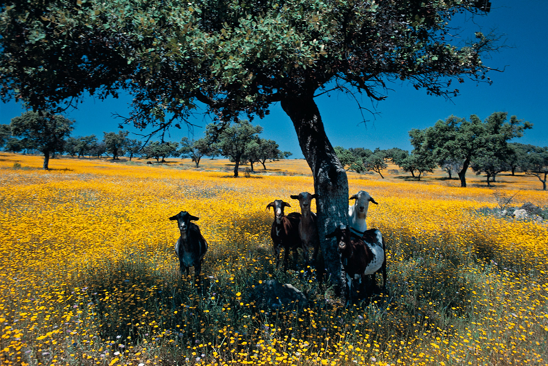 Goats #2 · Seville