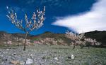 Almond Blossoms · Senés, Almería