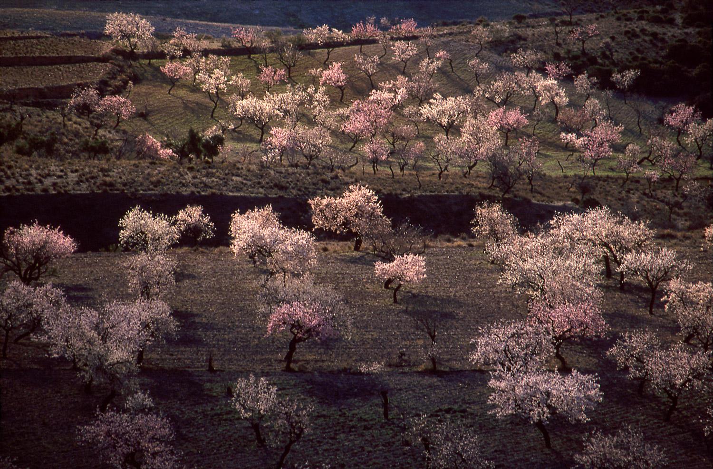 Almond Blossoms · Alpujarra Mountains, Almerïa