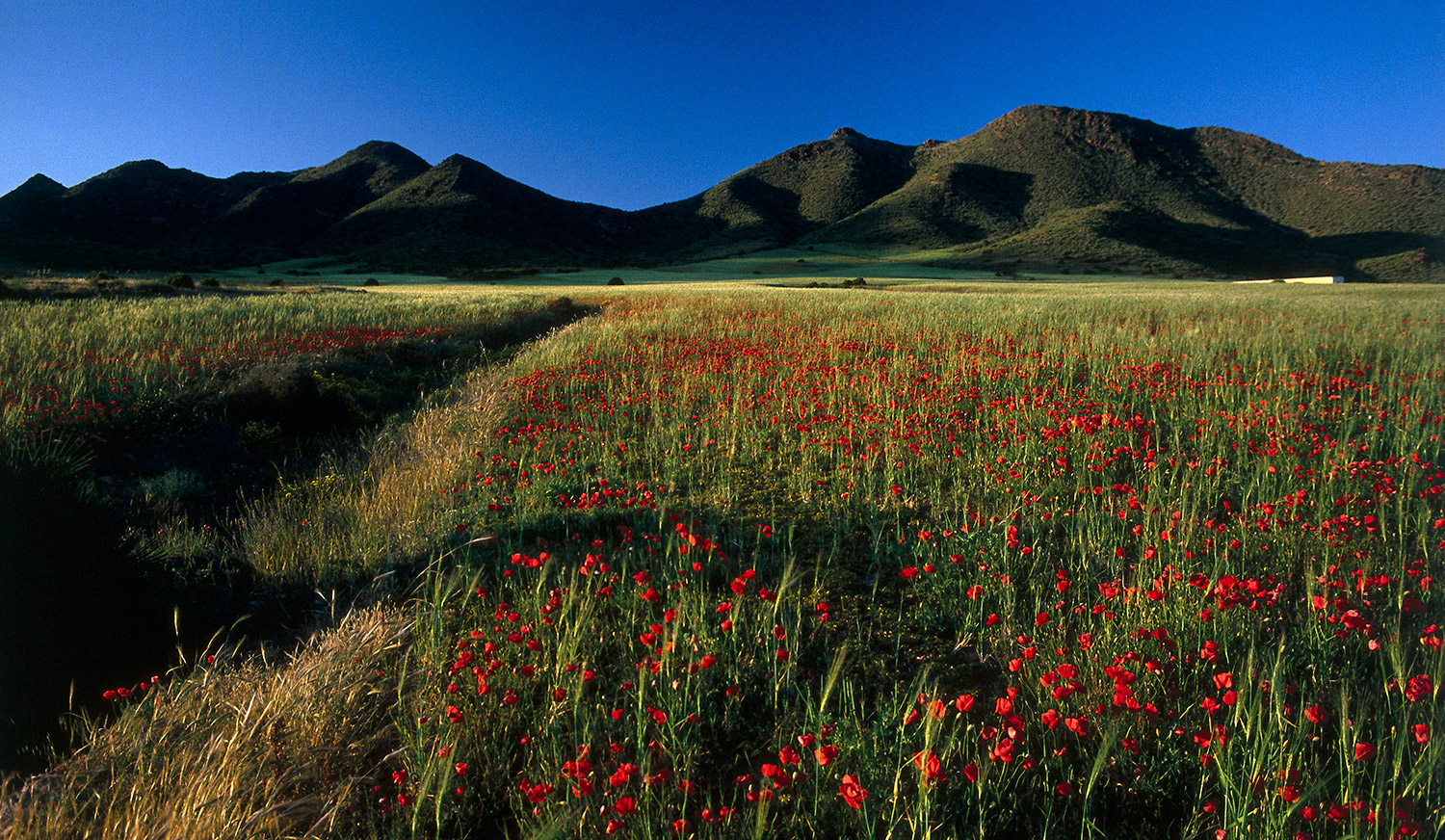 Poppies · Cabo de Gata National Park, Almería