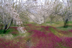 Cherry Blossoms · Torres, Jaén