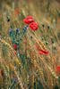 Poppies · Ronda Mountains