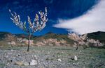 Almond Trees in Blossom · Senés, Almería