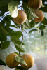 Citrus growing in a greenhouse.
