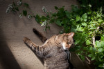 Eli the cat rests surrounded by cat nip which is growing in the greenhouse.