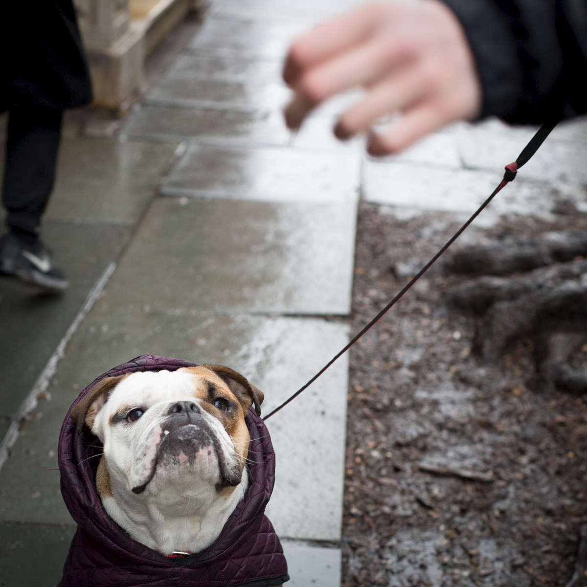 Layla bulldog, sits as her dog walker tries to get her to take a walk offering her a treat on 4th St. near Lafayette.