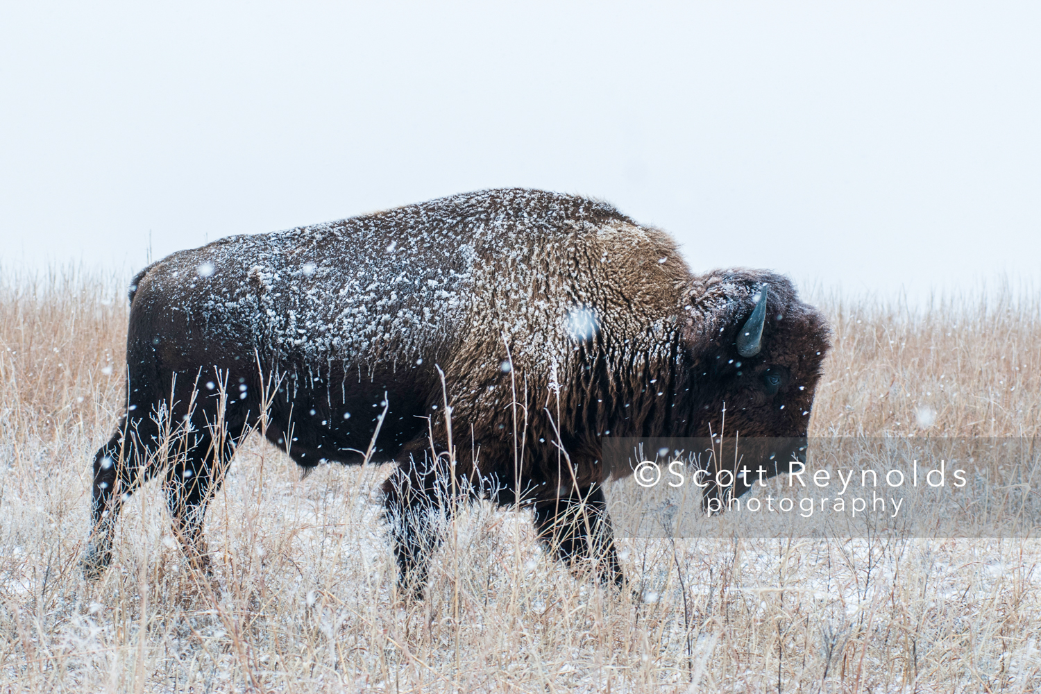 Bison-in-Snow