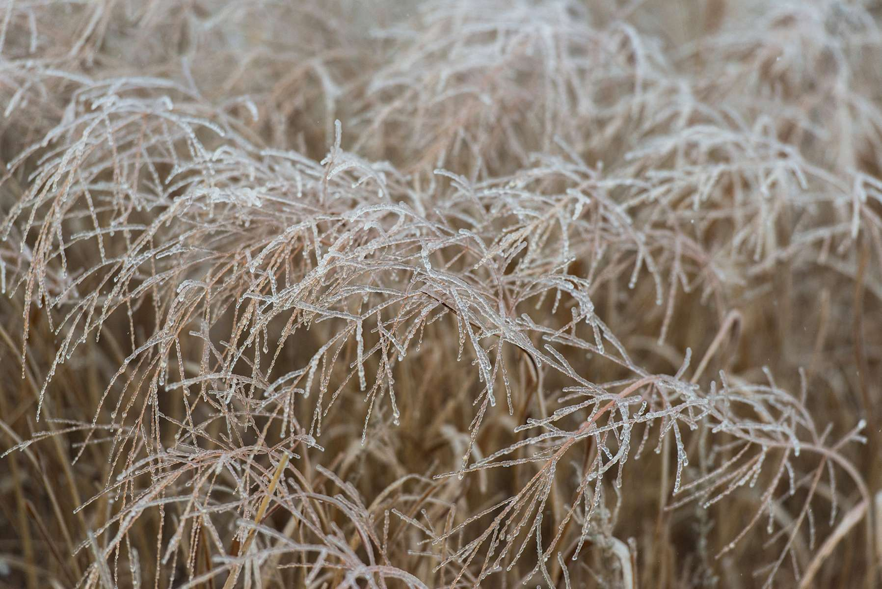 Frozen Tallgrass; If you're from the midwest, you know how an ice storm feels. It's hard to believe the bison can weather it all.