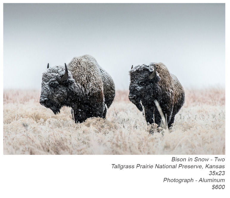 plaza-showing---bison-in-snow---two