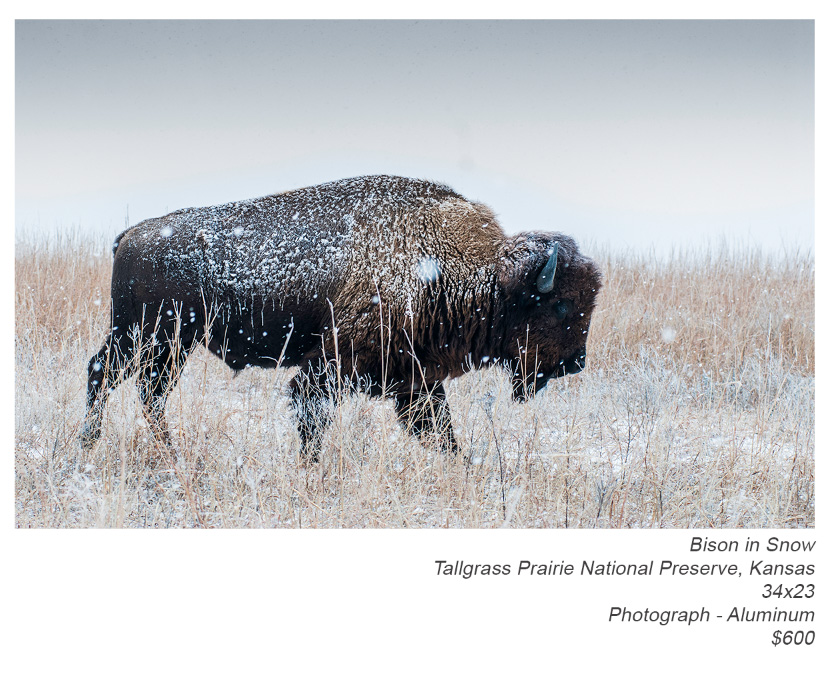 plaza-showing---bison-in-snow
