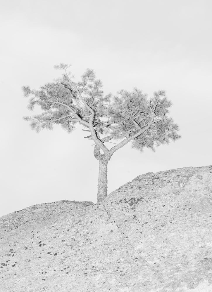 colorado_tree