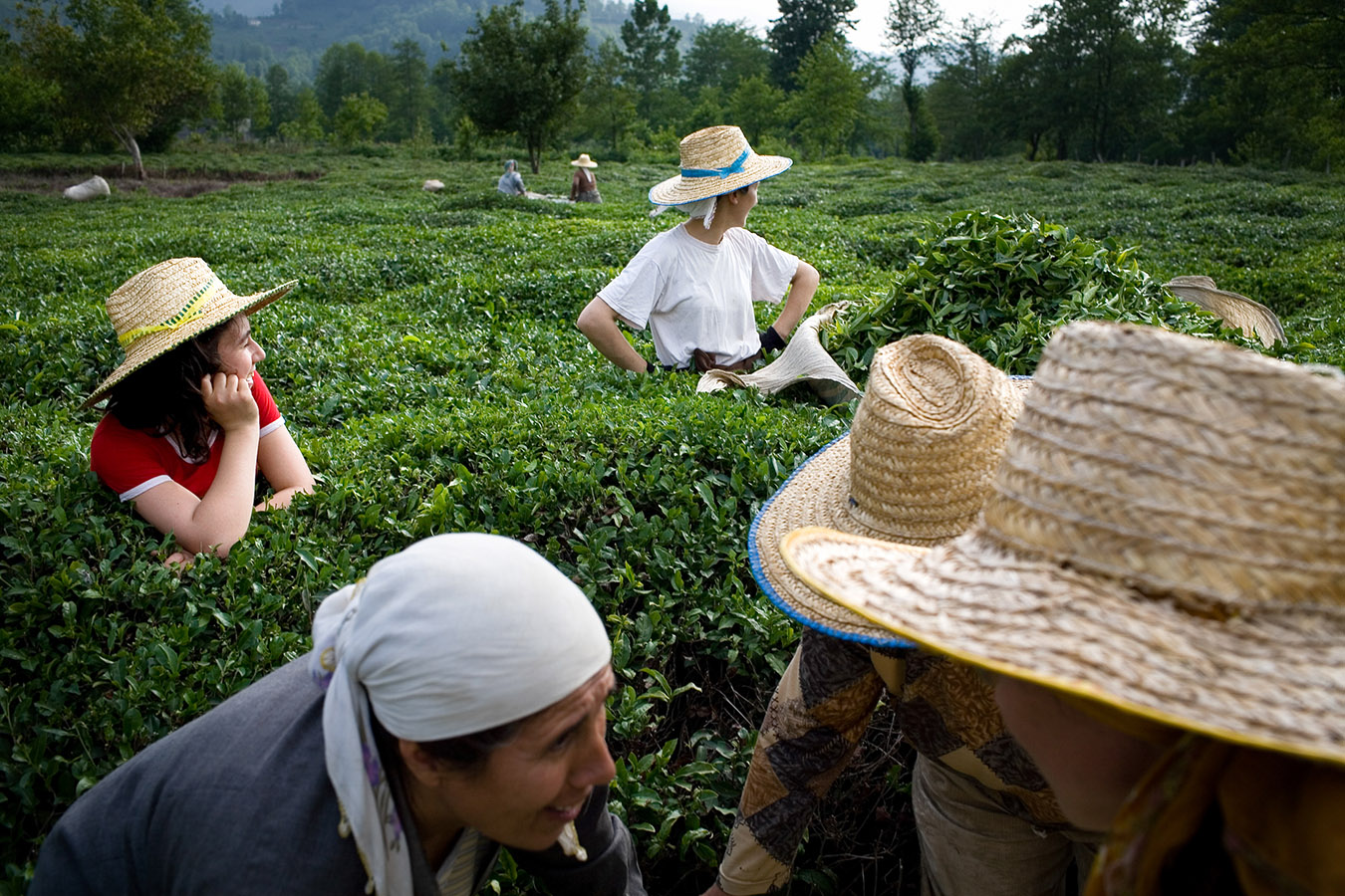 Family members work in a tea plantation during the first harvest of the year.Tea harvest become a family business at the East Black Sea region rather than an industrial agriculture.