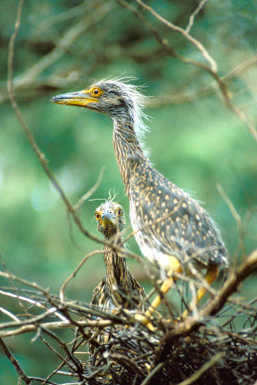 immature Herons at nest