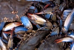 Blue crabs caught in Pamlico Sound North Carolina