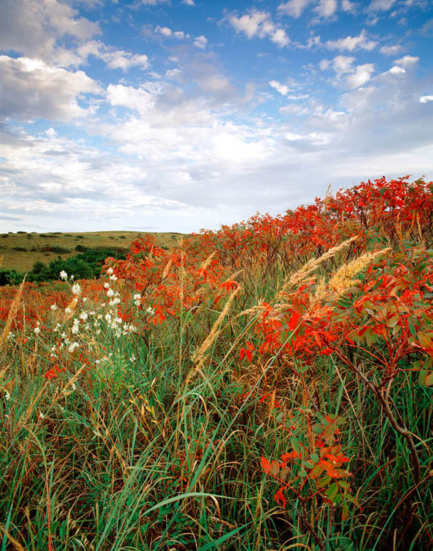 Photograph entitled Autumn sumac and grasses, Kansas Flint Hills