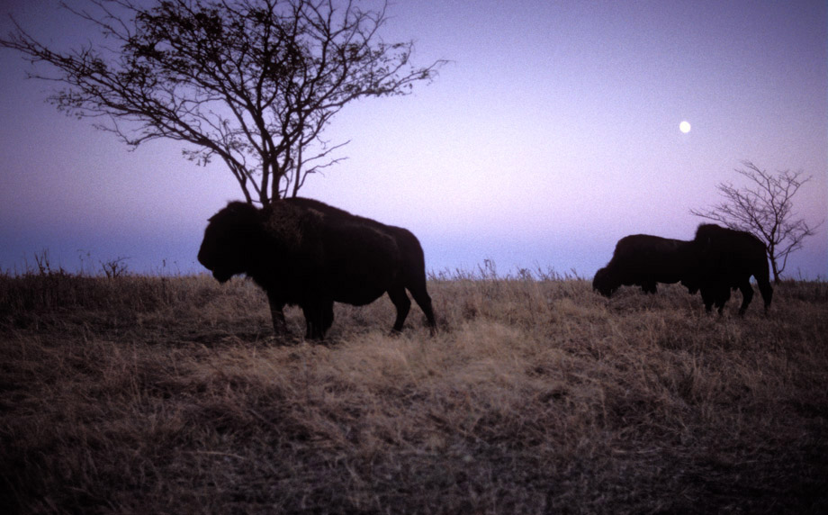 Photograph entitled Bison at dusk