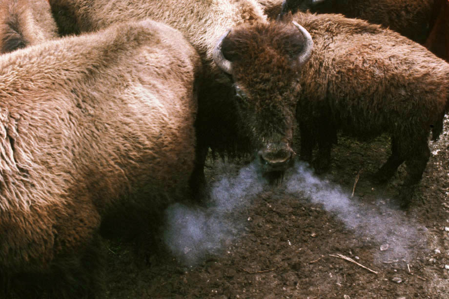 Photograph entitled Bison snorting in cold weather, Konza Prairie