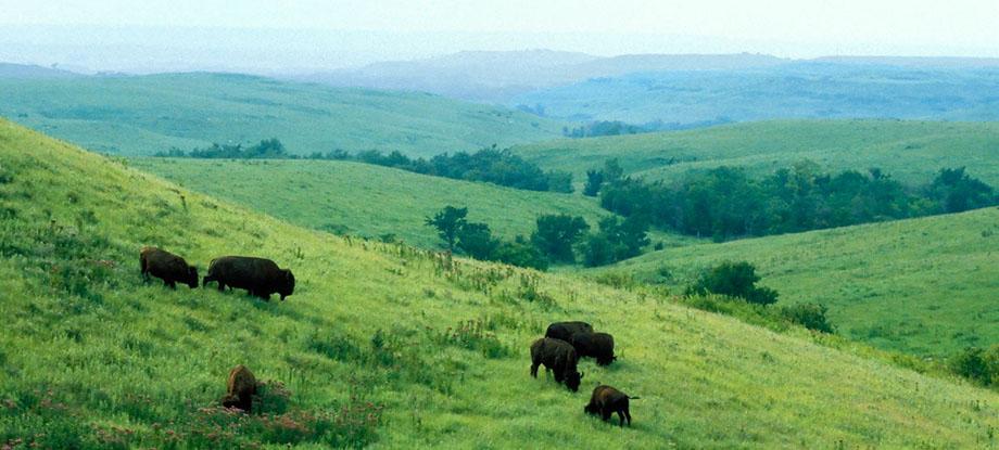 Photograph entitled Bison roaming in summer