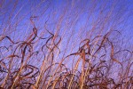 Photograph entitled Curly tallgrass in autumn, Kansas Flint Hills