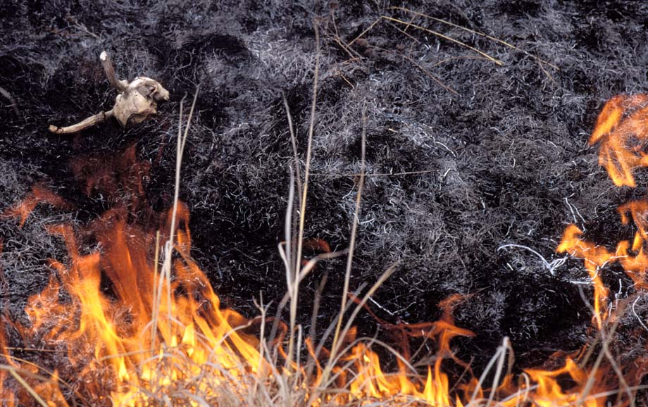 Photograph entitled Uncovered remains from prairie fire, Kansas Flint Hills