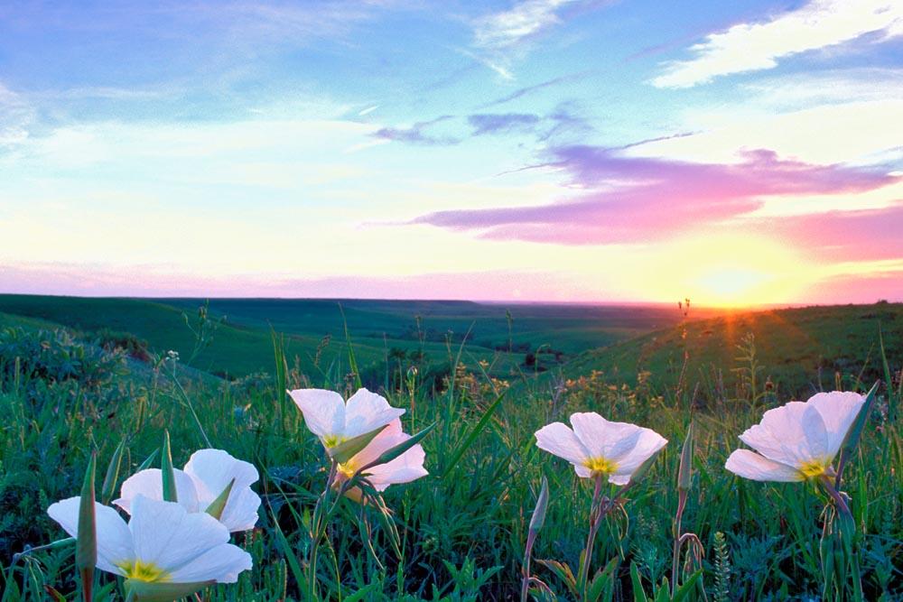 Evening primrose at sundown