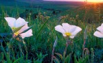 Photograph entitled Evening  primrose, Kansas Flint Hills