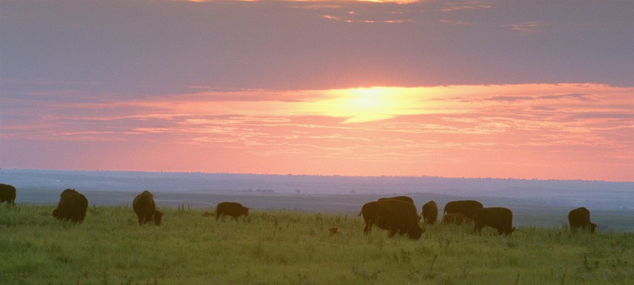 Bison grazing at sundown in the Kansas Flint Hills