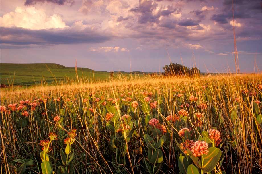 Konza Prairie, milkweed in spring
