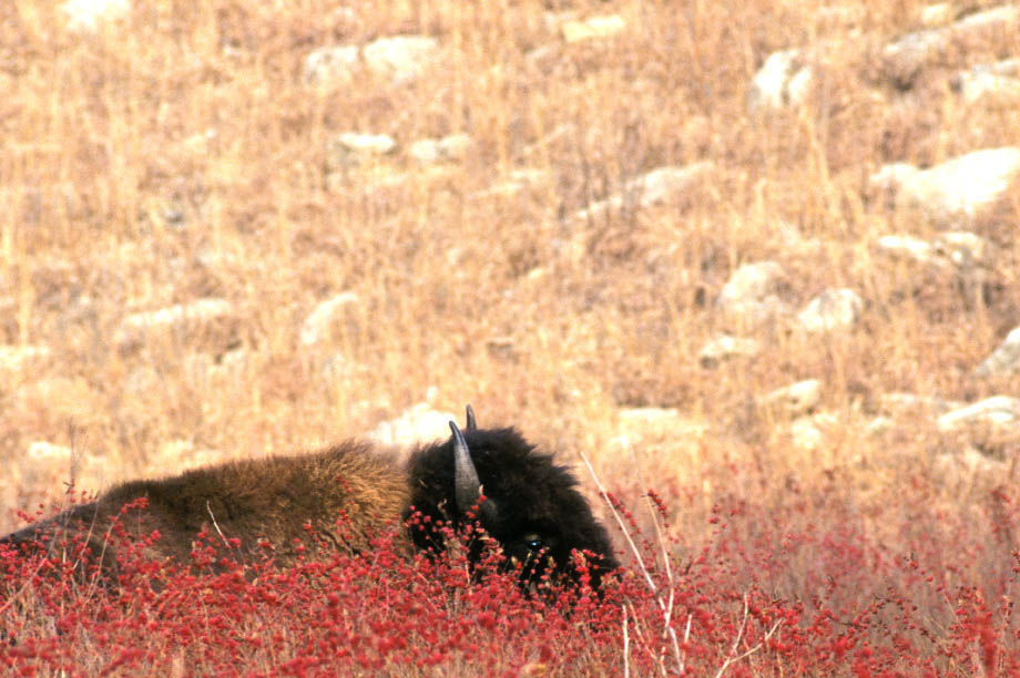 Photograph entitled Lone bison and winter berries, Kansas Flint Hills