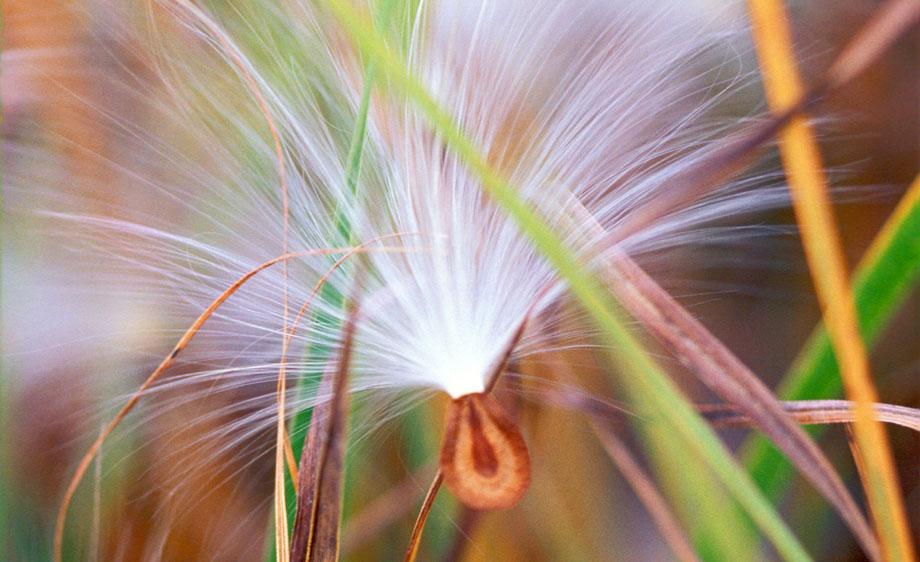 Photograph entitled Milkweed seedling
