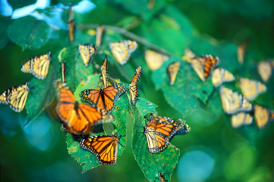 Photograph entitled Monarch butterfly migration through the Kansas Flint Hills
