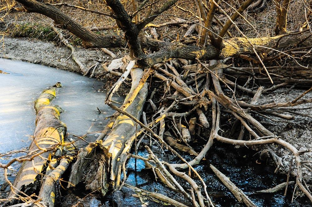 Photo entitled fallen trees in prairie creek