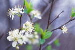 Photograph entitled Spring blossoms in the Flint Hills