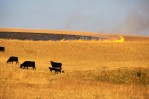 grazing_cows2