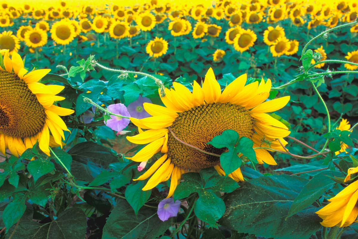 Picture entitled Sunflower field