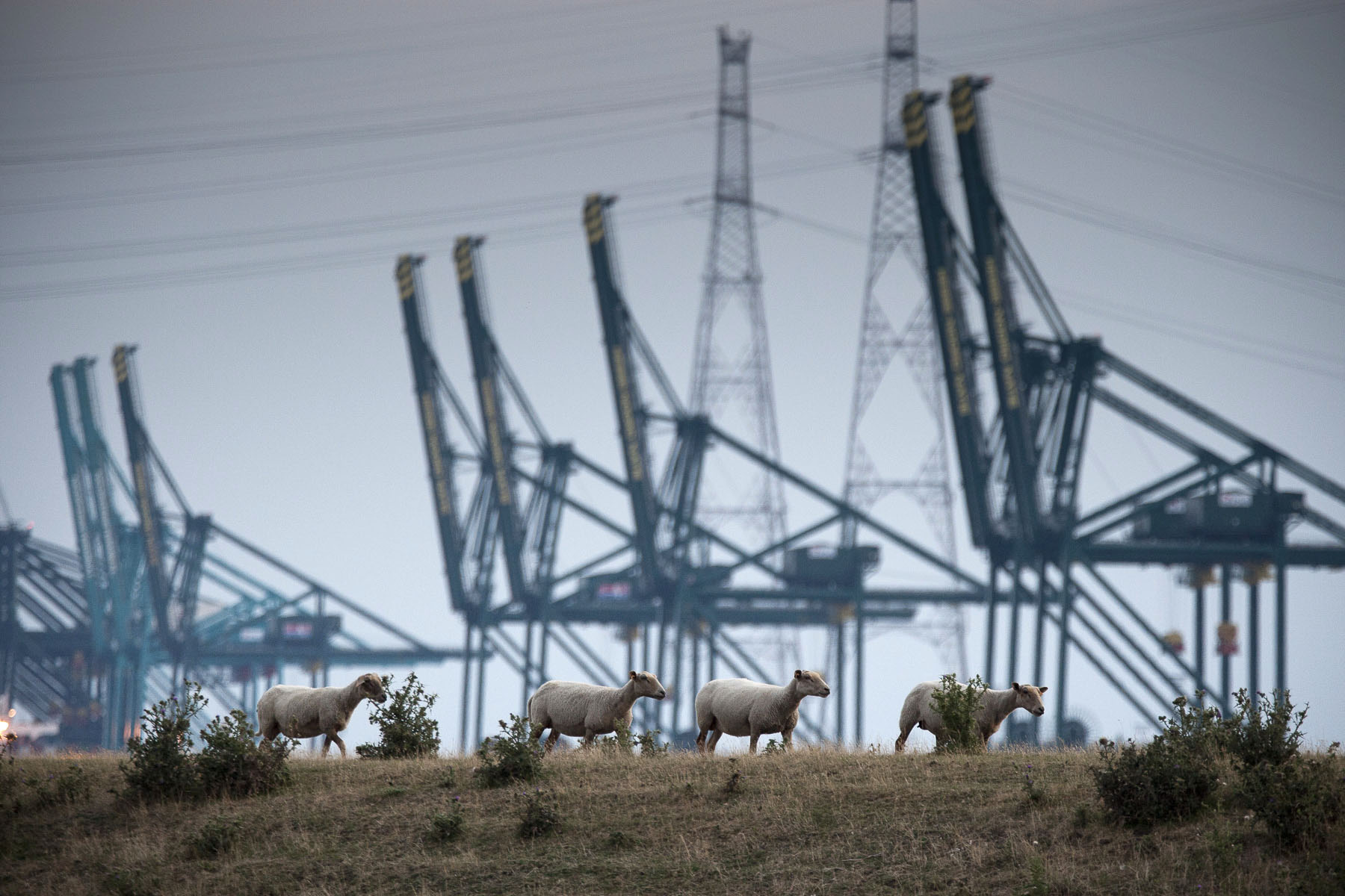 Sheep near Lillo. In the back the cranes of the docks on the left bank of the Scheldt river in July 2010