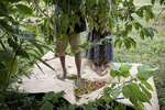 Bonga, the homeland of coffee. Coffee bean harvest at Cheik Mohamed's in November 2004