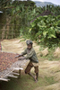 Mankra, the homeland of coffee. Young man picking coffee beans in November 2004