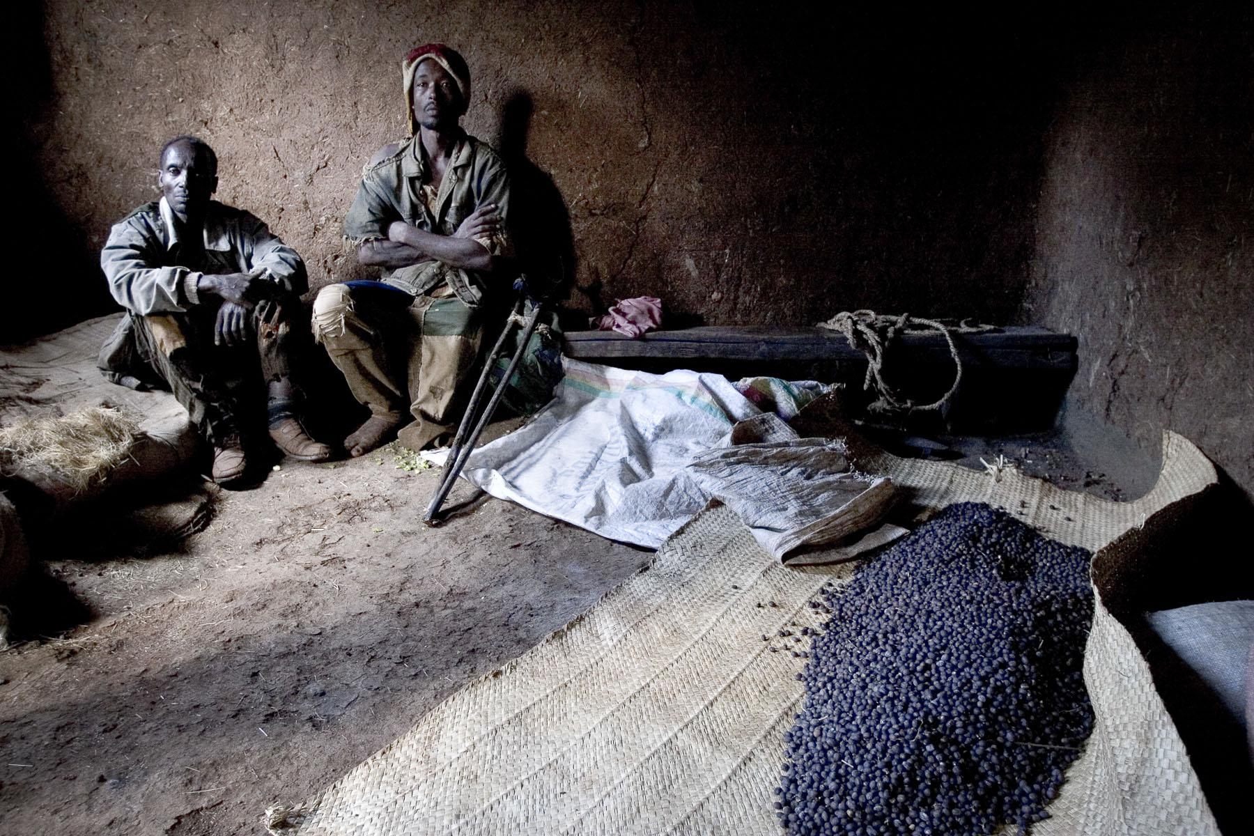 Mankra, the homeland of coffee. Men harvesting wild coffee in November 2004