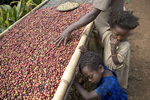 Mankra, the homeland of coffee. Wild coffee beans drying in November 2004