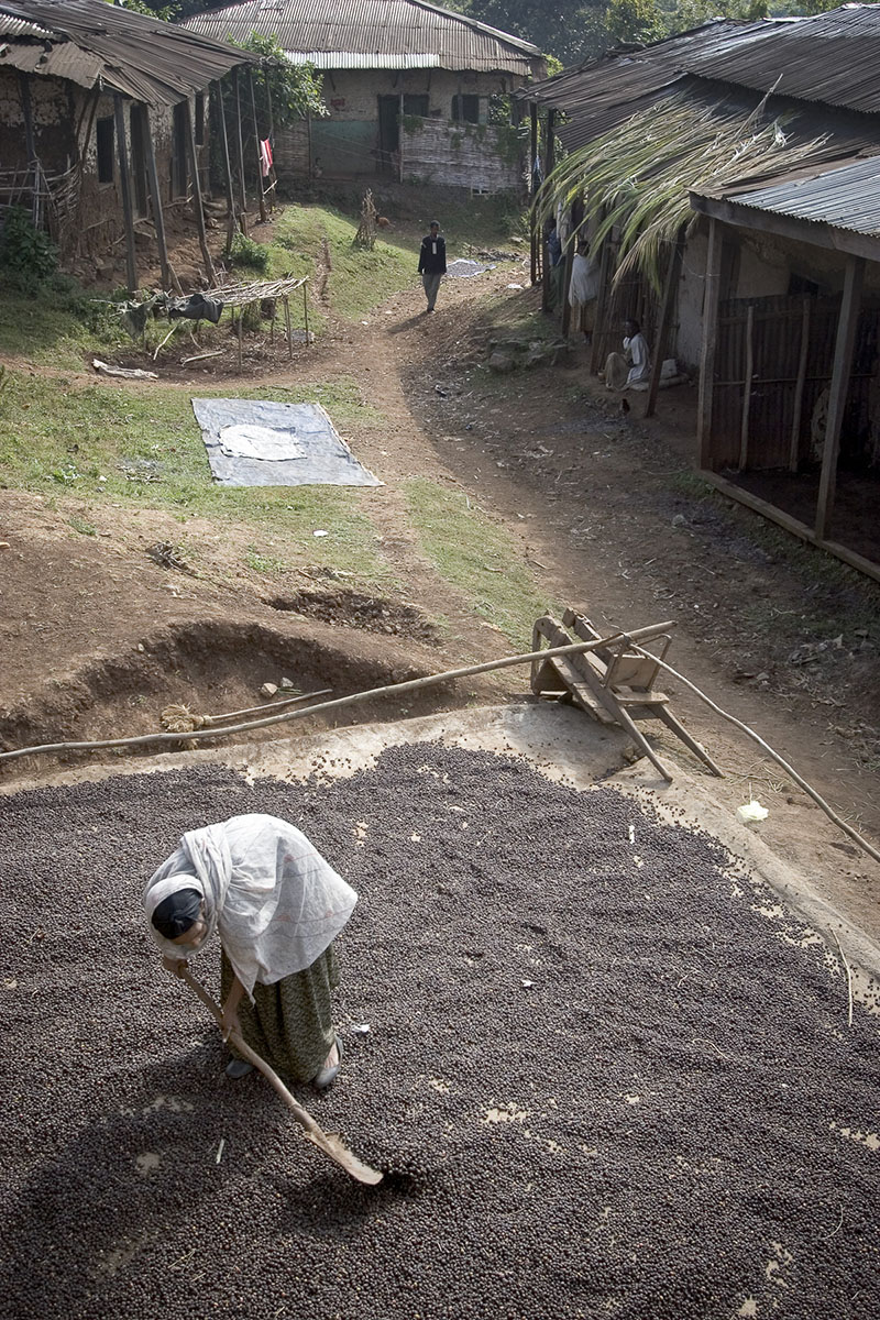 Shebe, the homeland of coffee. Wild coffee beans drying in November 2004