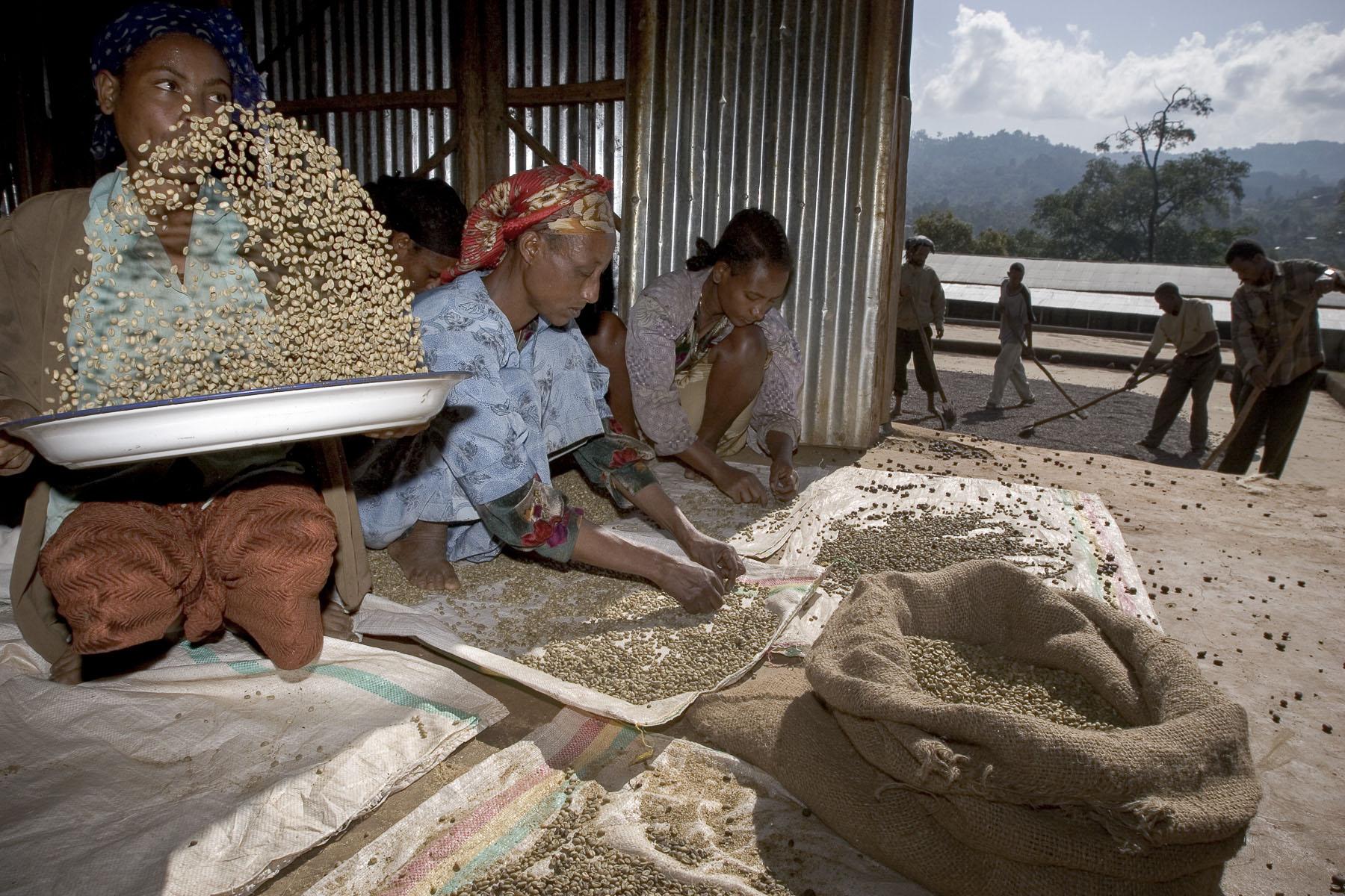 Bonga, the homeland of coffee. Coffee shelling. Women sorting coffee beans in November 2004