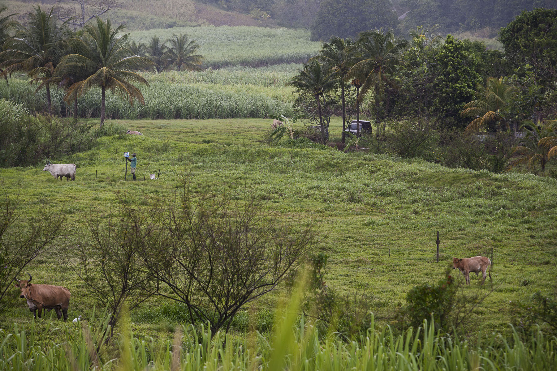 A farmer and his cows by a sugar cane field on the Traversière Road on March 2009