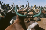 Peuls and their herd in Diafarabe in 1994