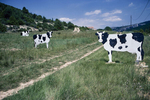 Billboards representing milk cows near the Gorges of the Verdon. 2000
