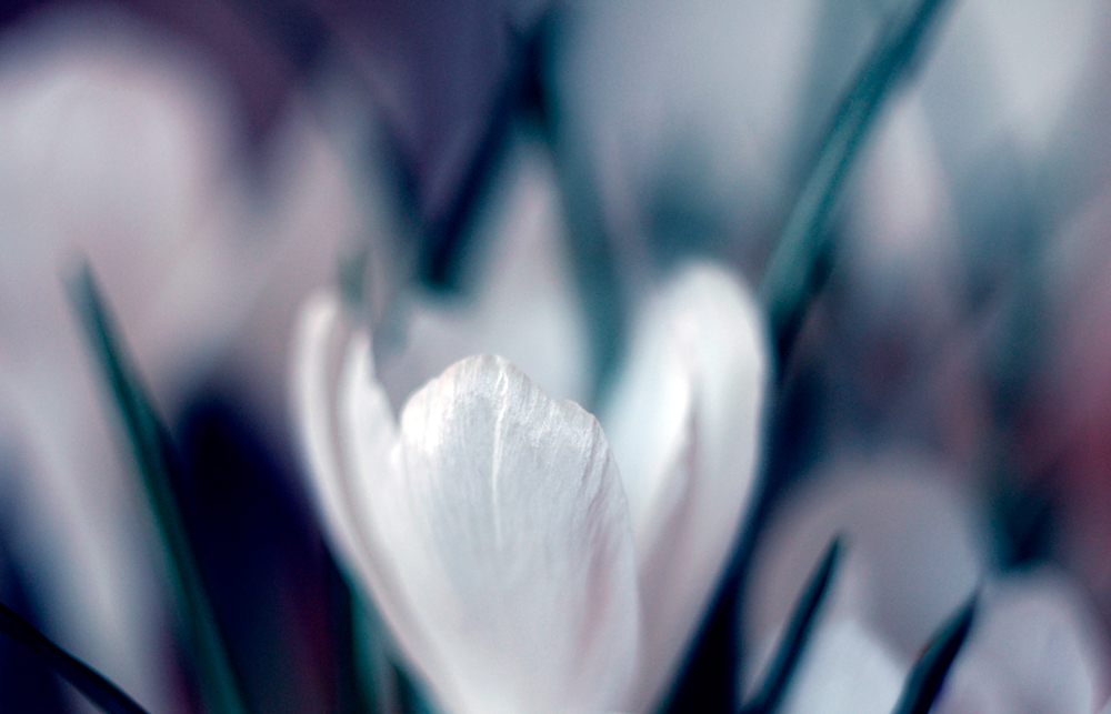 flower-photography-color-photographer-adrian-hancu-moldova-chisinau-romania-bucharest-028