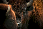 Click info button at top for project summary.Since 1985 the Nature Conservancy has been working at building a restored tallgrass prairie ecosystem in Illinois at the Nachusa Grasslands with the goal of one day reintroducing bison. In October 2014 the animals finally arrived.