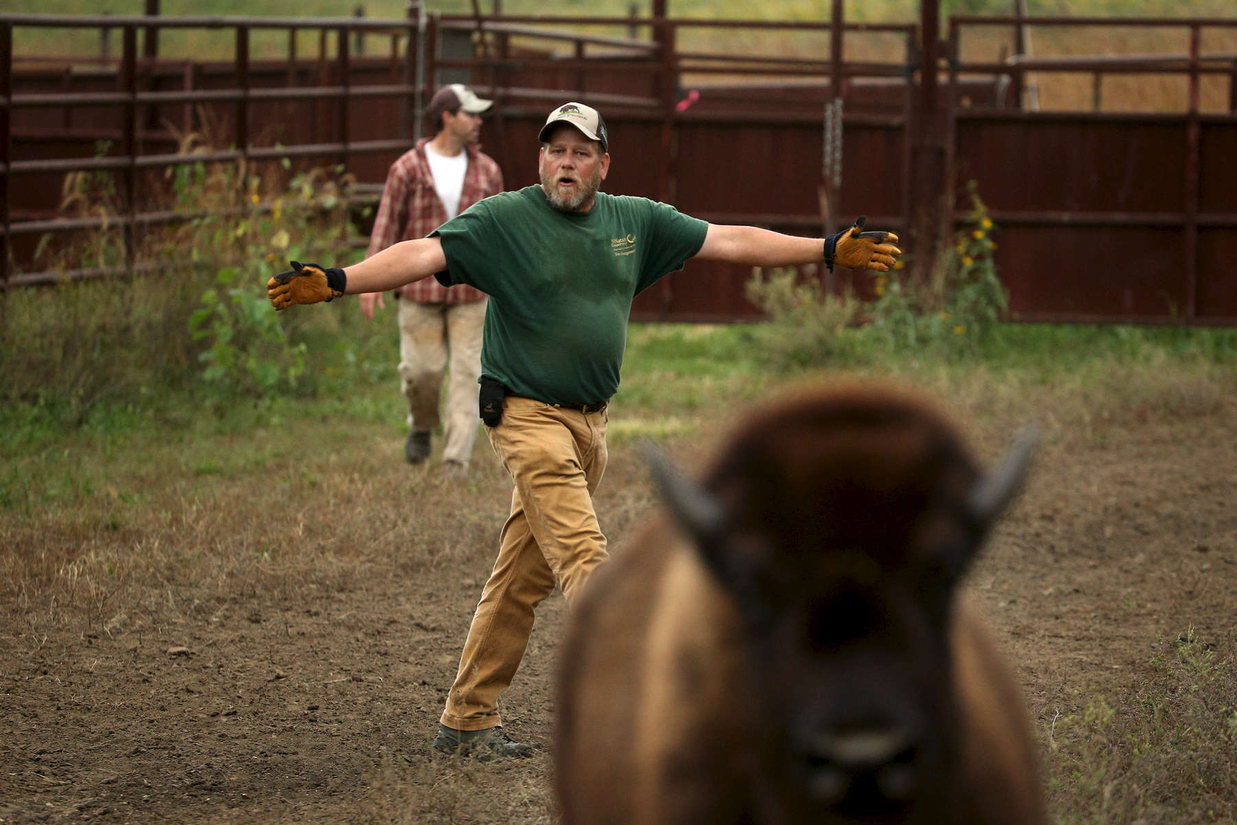 David Crites, a longtime volunteer at Nachusa Grasslands, pushes a group of bison into the corrals during the annual roundup in Iowa.